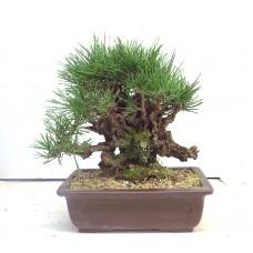 Corticosa black pine
