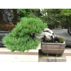 Shohin white pine