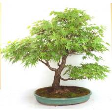 Arakawa Maple