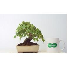 Quality Shohin Mountain Maple