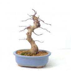 Benichidore Maple