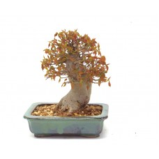 Shohin Trident Maple