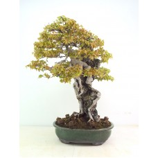 Specimen Trident Maple on rock