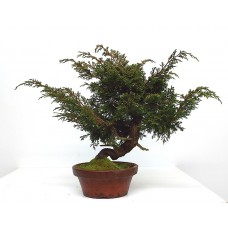 ITOIGAWA JUNIPER BONSAI