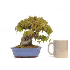 QUALITY SHOHIN TRIDENT MAPLE  ON ROCK