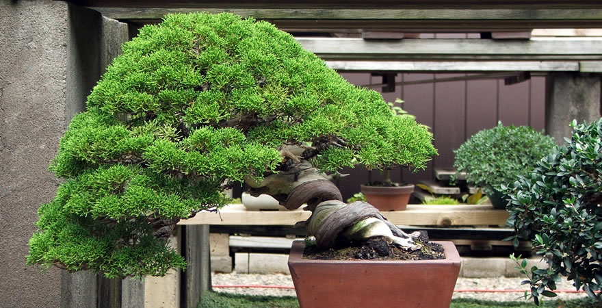 Wattson Bonsai