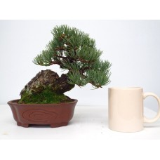 TOP QUALITY WHITE PINE