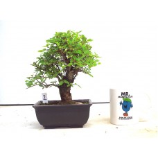Corkbark Elm