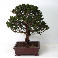 "Specimen Hinoki Cypress ""Sekka"""