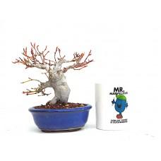 Shohin Mountain Maple