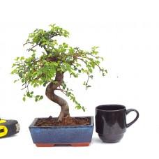 Chinese Elm. { free postage}