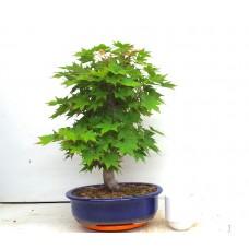 Tsumabeni maple