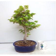 Large Tsumabeni maple