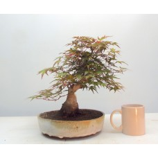 BENICHIDORE MAPLE { free postage }