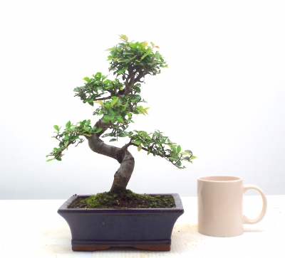 CHINESE ELM { FREE POSTAGE }