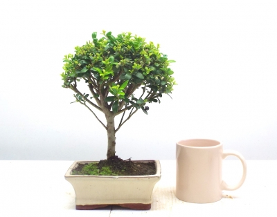 JAPANESE HOLLY { FREE POSTAGE }
