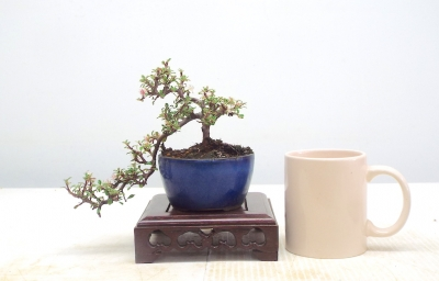 CASCADE COTONEASTER [free postage }