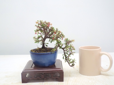 CASCADE COTONEASTER[ FREE POSTAGE }