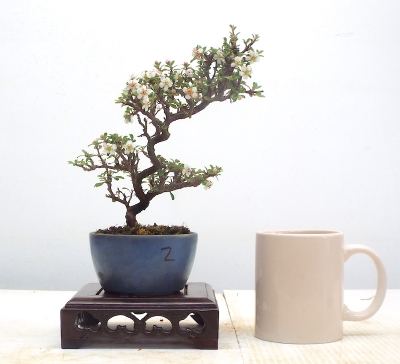 COTONEASTER[ FREE POSTAGE }