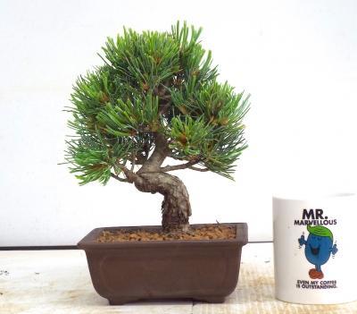 White Pine { free postage }