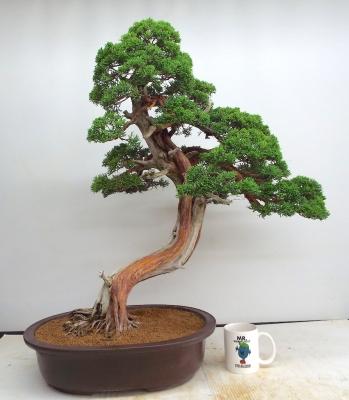 Kishu juniper