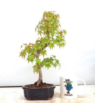 Mountain maple {free postage }