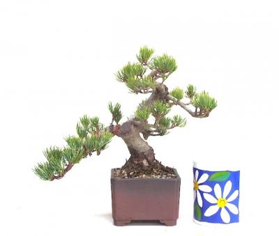 Shohin  semi cascade White Pine