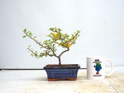 Chojubai Japanese quince