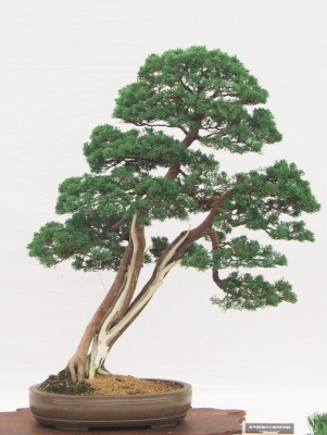 QUALITY TWIN TRUNK CHINESE JUNIPER