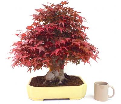 Deshojo Maple