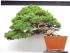 Itoigawa cacade juniper