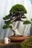Itoigawa juniper