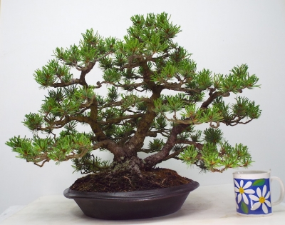 WHITE PINE CLUMP