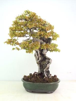 Specimen Trident Maple on rock