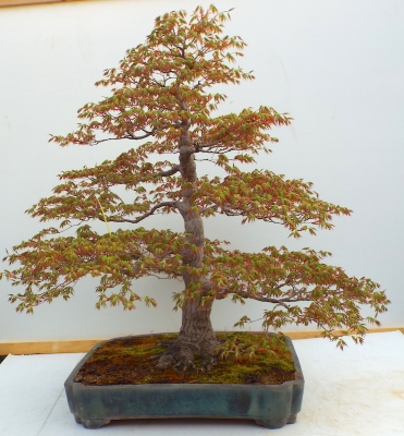SPECIMEN MOUNTAIN MAPLE