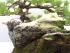 Yamadori White Pine Cascade