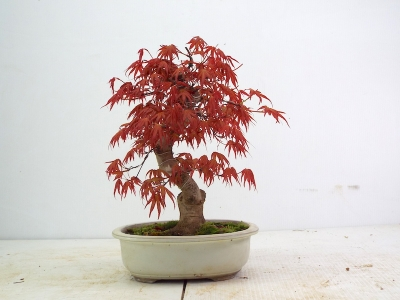 BENICHIDORE MAPLE