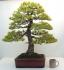 Specimen White Pine