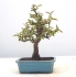 Chinese Quince { free shipping }