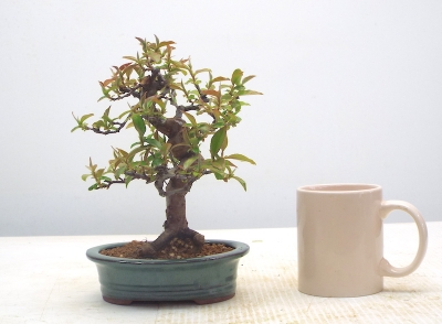 Chinese Quince {free postage }